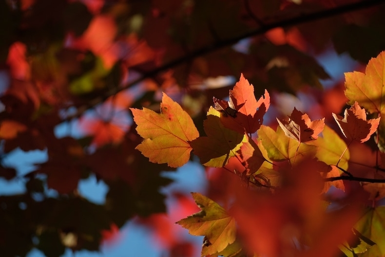 Close up picture of a maple leaf in fall. The leaves are orange and red in Troy, MI
