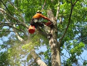 Picture of our tree climber in a large tree in the summer cutting down dead and old branches in Troy, MI